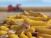stock photo of combine  - Corn maize cobs during harvesting season and combine harvester in background - JPG