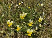 stock photo of viola  - Dune Pansy - Viola tricolor curtisii