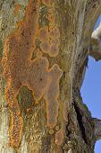 picture of fungus  - Wrinkled Crust Fungus - Phlebia radiata on dead tree - JPG