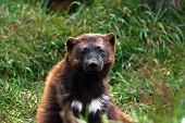 picture of wolverine  - Rare wolverine Gulo gulo looking at camera - JPG