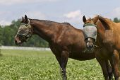 picture of troika  - Two horses in a pasture with burlap bags on their heads to protect them against flies - JPG