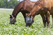 stock photo of troika  - Two horses in a pasture with burlap bags on their heads to protect them against flies - JPG