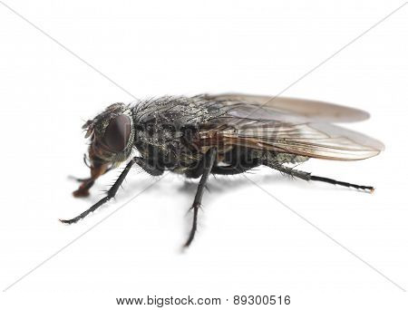 Housefly Closeup On White
