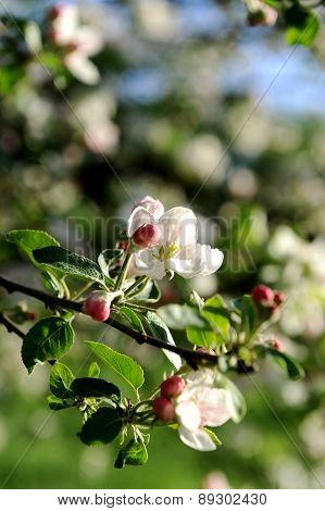 Apple Flower In Bloom
