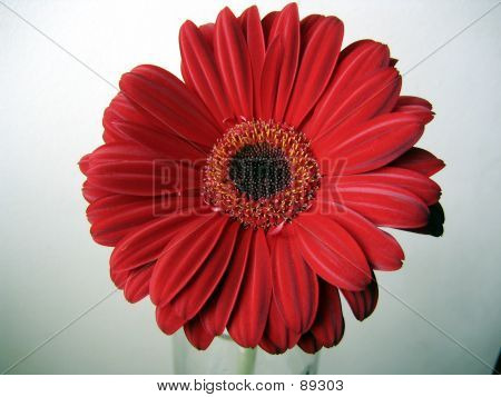 Deep-red Gerbera Close Up