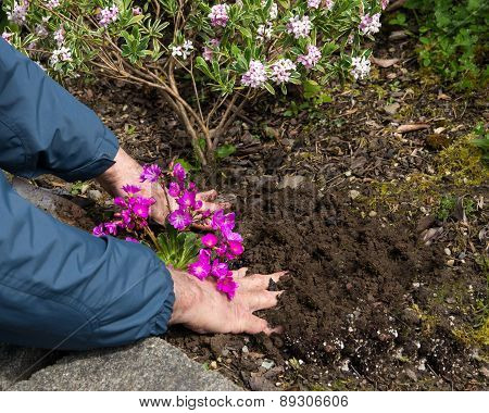 Man Planting Flowers In A Flower Bed Edit