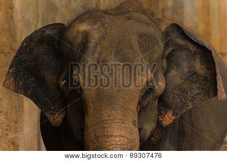 An Elephant In Sri Lanka Approaching