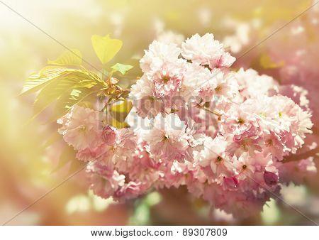Sakura Cherry Flower Blossom