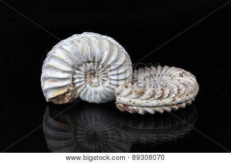 White Ammonites
