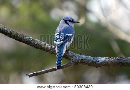 Bluejay on Branch