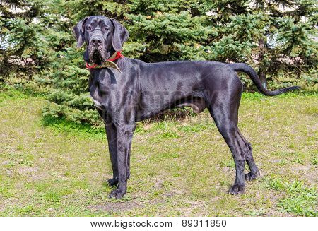 Great Dane profile.