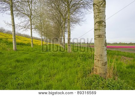 Yellow wildflowers in spring and birches