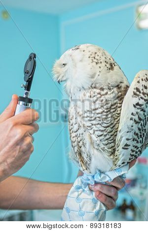 veterinarian holding and checkup owl