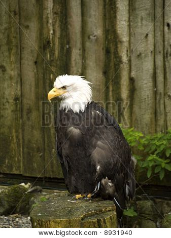 Bald Eagle Sitting On His Perch