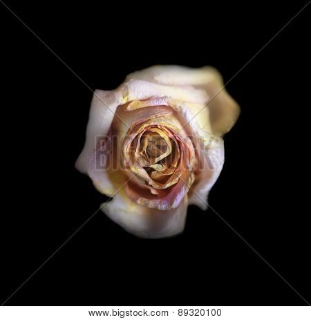 Beautiful Single Faded Rose  Isolated On Black