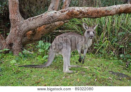 Kangaroo In The Bush