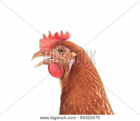 Close Up Side View Of Beautiful Brown Female Chicken Hen Isolated White Background Use For Farm Anim