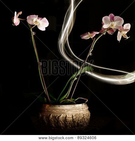Isolated Orchids with Light Painting