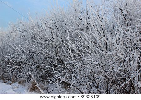 Bushes in frost