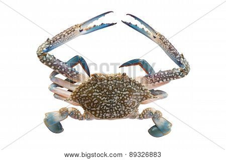 horse crab on white