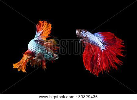 Two Of Beautiful Color Betta Fighting Fish Preparing To Fight On Black Background Use For Animals An