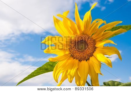 Beautiful Yellow Sunflower Against The Sky