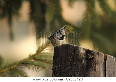 Crested Tit On A Wooden Stump