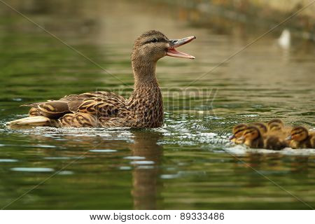 Female Mallard Duck Quacking