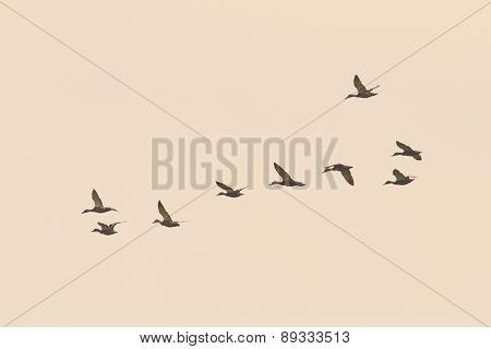 Flock Of Wild Ducks On The Sky
