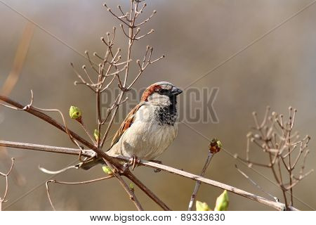 Male House Sparrow On Twig