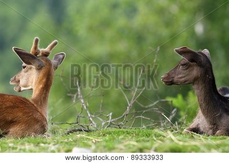 Two Fallow Deers On Meadow