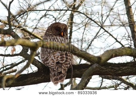 Ural Owl With Rat