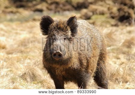 Wild Boar Looking Towards The Camera