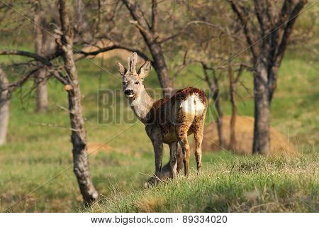 Young Male Roe Deer