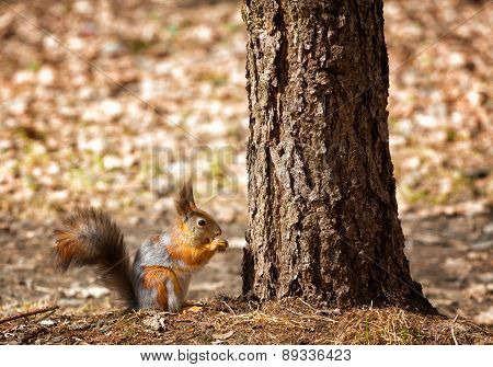 Squirrel Sits Under A Tree And Gnaws A Nut