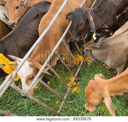 Cows In Charity Of Buddhism Event  To Free Them From Shambles