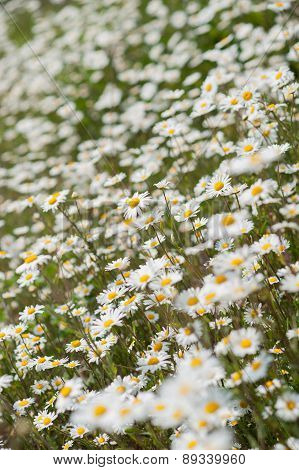 White & Yellow Daisy Flowers In Garden Or Meadow