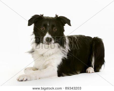 Black And White Border Collie