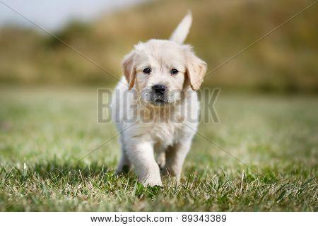 Walking Golden Retriever Puppy