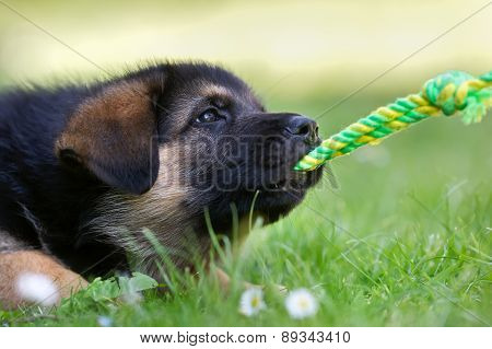 German Shepherd Baby Dog Pulling A Rope