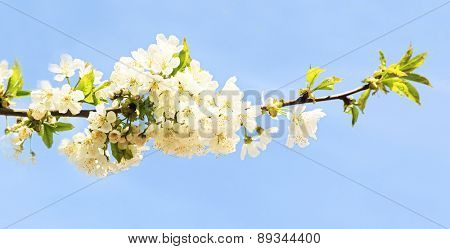 White cherry flowers branch isolated on blue background