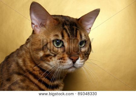 Closeup  Bengal Cat
