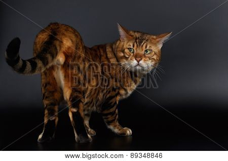 Bengal Cat looking back on his tail