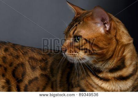 Closeup Bengal Cat looking angry