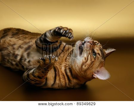 Bengal Cat shows cluws on Gold background