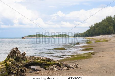 Dried Tree Root On The Beach