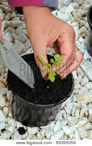 Potting tomato seedling.