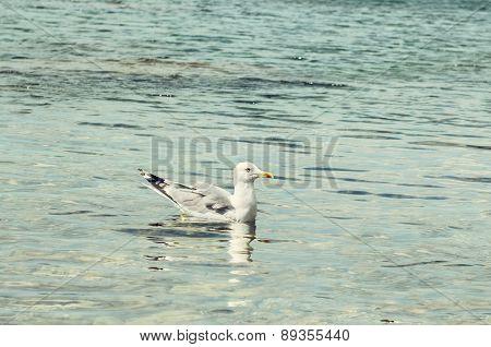 Seagull In Sea