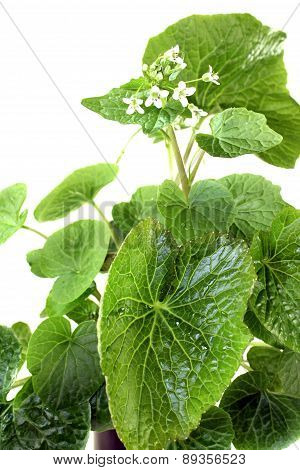 Fresh Wasabi Leaves With Blossoms