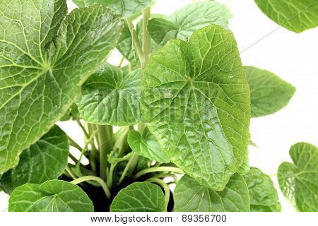 Wasabi Leaves